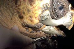 Injured Sea Turtle Gets A 3D-Printed Jaw   IFLScience
