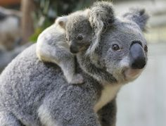 There could be fewer than 50,000 koalas left in the wild, according to an estimate released to pressure the Federal Government into listing the animal as a threatened species. Australian Koala Foundation scientists estimate that the koala population has fallen from about 100,000 earlier this decade to between 43,000 and 80,000.