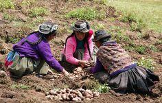 https://flic.kr/p/shRSfZ   Harvest potato - Huancavelica - Peru (foto S. de Haan)