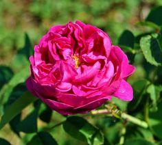 Busuioace cu miez roşu | Zdravăn Home And Garden, Roses, Paradis, Mai, Gardening, Interiors, Farm Gate, Plant, Fragrance