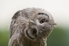 Owls use their swivel-prone neck and eyes like this baby scops owl to catch prey — Photo: BrianScott (flickr)