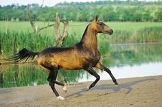 Akhal-Teke horses for sale Most Beautiful Horses, All The Pretty Horses, Simply Beautiful, Akhal Teke Horses, Golden Horse, Work Horses, Horses For Sale, Horse Breeds, Thoroughbred