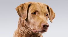 Chesapeake Bay Retriever information including personality, history, grooming, pictures, videos, how to find a Chesapeake Bay Retriever and AKC standard.