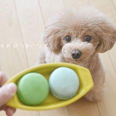 2017.01.09 * 《 マカロン & ハンナ ①》 * わぉ❤︎お饅頭にみえる‥ * だけど、 * ◯◯柚子マカロンと塩マカロン◯◯ * ハンナぁ‥嬉しそうにお座りしても、 * これはあげらんないのよ。。 * by  ハンナママ * * * #マカロン#ママのおやつ #toypoodle#poodlelove#todayswanko#igdogphoto#instapoodle#_lovely_weekend#all_dog_japan#west_dog_japan#愛犬#わんこ#プードル#ふわもこ部#犬バカ部