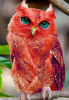 """NOT """"Red owl. According to Wikipedia, the Red Owl is mainly in Madgascar. Is considered Vulnerable. HOAX--artificially colored--and this owl is not supposed to be an earred owl! Real thing looks like a barn owl. Exotic Birds, Colorful Birds, Exotic Pets, Colorful Animals, Unique Animals, Rare Birds, Exotic Flowers, Rare Animals, Animals And Pets"""
