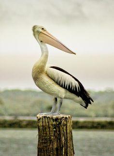 Pelican Poise Photograph  - Pelican Poise Fine Art Print