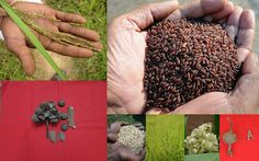 Medicinal Rice based Tribal Medicines for Diabetes Complications and Metabolic Disorders (TH Group-783) from Pankaj Oudhia's Medicinal Plant Database. Encyclopedia of Tribal Medicines by Pankaj Oudhia. #TribalMedicines #TraditionalHerbalFormulations