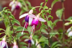 'Tom Woods' is a upright fuchsia with single, purple in white flowers appearing first in mid summer and continuing to frost. Balcony Garden, Plants, White Flowers, Flowers, Mulch, Fuchsia, Container Plants, Shady, Garden