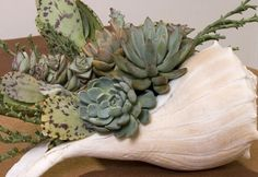 love the shell for succulents too!!! also going to do this for orchids...look out panama city shell shop....here i come!