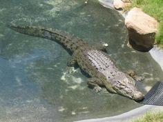 Salt-water crocodile at Currumbin Sanctuary