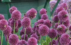 Allium sphaerocephalon - great for planting in drifts, looks good with a backdrop of ornamental grasses and flowers a little later than other Alliums usually in July & August. Allium Sphaerocephalon, Planting, Gardening, Blue Daisy, Ornamental Grasses, Garden Plants, Garden Design, Garden Ideas, Garlic