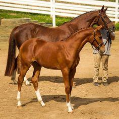 "scarlettjane22: "" Spruce Glen Farm - Breeders of Hanoverian Horses """