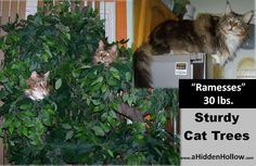 Strong, Heavy Duty Cat Furniture for Maine Coon Cats or other Large Breeds