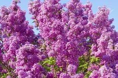 Stock Photo - lilac bush pink against the blue sky