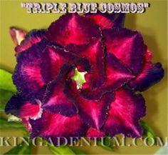 "ADENIUM OBESUM DESERT ROSE ROSY FLOWERS "" TRIPLE BLUE COSMOS "" 20 SEEDS,NEW,RARE"