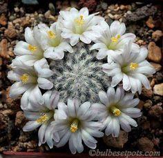 Quem poderia crer que uma planta espinhenta poderia oferecer tão lindas flores, é...o cac