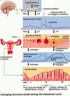 The sexual cycle averages at 28 days, and ranges from 20-45. The hormone cycle is known as the hierarchy of control, which contains the hypothalamus, the pituitary, the ovaries, and the uterus. The follicular phase (2 weeks) is when menstruation occurs during the first 3 to 5 days of the cycle. The uterus replaces lost endometrium and the follicles grow. The luteal phase (2 weeks) is when the corpus luteum stimulates endometrial thickening and the endometrium is lost without pregnancy.