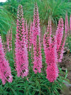 Veronica Giles Van Hees - Full Sun to Half Sun/ Half Shade; blooms spring to early fall; rabbit resistant; attracts butterflies, hummingbirds; salt tolerant