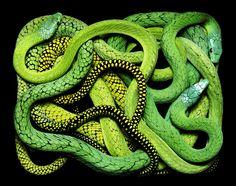Snakes representative of Medusa