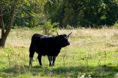 Drei Stiere und der Löwe • Eintracht • Fabel von Aesop