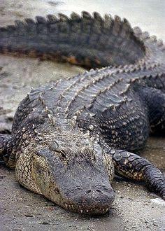 Florida's Wildlife: Reptiles