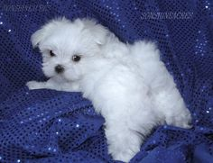 Don't You think my bum is cute? Maltese Puppies | Maltese Breeders | Maltese Puppies For Sale
