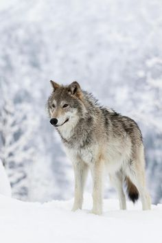 beautiful-wildlife: Female Tundra Wolfby Doug Lindstrand