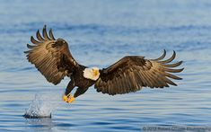 40 Immoral and Powerful Pictures of Eagles (king of the sky) - Tail and Fur The Eagles, Bald Eagles, Bald Eagle Call, Alaska Tours, Eagle Images, Powerful Pictures, Eagle Wings, Birds Of Prey, Bird Feathers