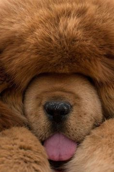 Dogue du Tibet (Mastiff Tibétain) Plus Tibetan Mastiff Dog, Mastiff Dogs, Tibetan Dog, Cute Puppies, Cute Dogs, Dogs And Puppies, Doggies, Animals And Pets, Funny Animals