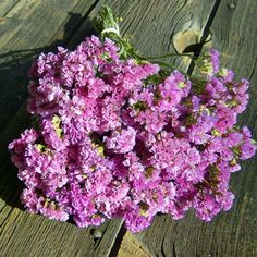 Statice American Beauty  (Limonium sinuatum) - Excellent for fresh or dried!
