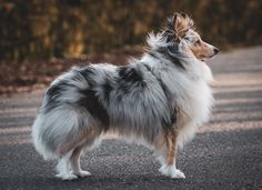 Discover recipes, home ideas, style inspiration and other ideas to try. Big Dogs, Cute Dogs, Dogs And Puppies, Corgi Puppies, Doggies, Rough Collie, Collie Dog, Blue Merle Sheltie, Shetland Sheepdog