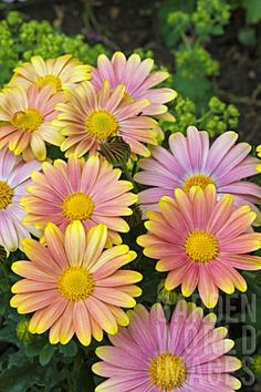 osteospermum 'sunny bella'