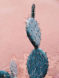 Desert rose, desert dream, peach desert, cactus photography, cacti and succ Cacti And Succulents, Cactus Plants, Prickly Cactus, Plants Are Friends, Desert Rose, Peach Desert, Desert Dream, Cactus Y Suculentas, Jolie Photo