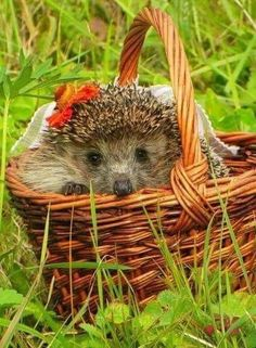 Nutritious diet for your pet hedgehog will ensure you that you will be having a healthy and happy companion for years. Hedgehog Habitat, Hedgehog Pet, Cute Hedgehog, Happy Hedgehog, Animals Of The World, Animals And Pets, Baby Animals, Funny Animals, Cute Animals