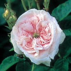 Félicité Parmentier old alba rose