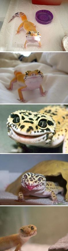 This picture is what inspired me to get a pet Leopard Gecko. :)