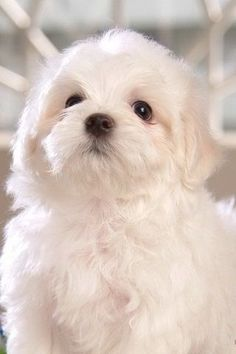 A cute little Maltese puppy!