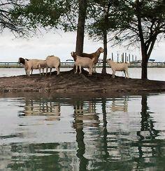 Goat Island on a King Tide in Murrells Inlet. South Carolina Coast, South Carolina Vacation, South Carolina Homes, Myrtle Beach Vacation, Myrtle Beach Sc, Carolina Beach, Carolina Girls, Beach House Hotel, Mrytle Beach