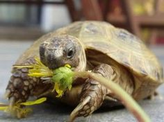 Check out some diet tips for Russian tortoises (also know as Horsefield) that few know! >>