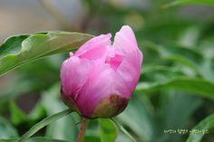 꽃봉우리 | 꽃피기전 공처럼 말려 있는 꽃봉우리가 아름다운 ...