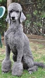 French Standard Poodle Groomed - Bing images