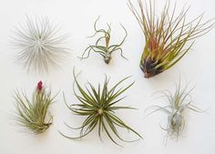 Air plants (Tillandsia) are supposed to be some of the easiest plants to keep alive, indoors. For starters, they don't even need soil, absorbing water and nutrients through scales on their leaves.
