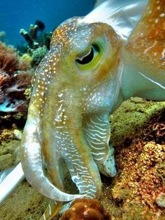 Giant Cuttlefish by p@ragon by Divonsir Borges