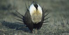 Protect the Greater Sage Grouse From Mining. Please sign this petition to protect a bird who only eats sage and snow most of the time.  Click on the photo to sign this petition!  Thank you, EM