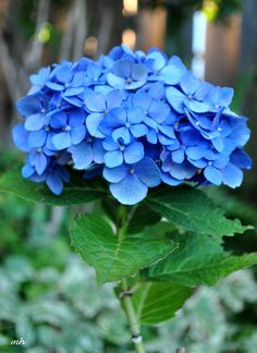 hydrangea Hydrangea Bloom, Peonies And Hydrangeas, Hydrangea Care, Hydrangea Flower, My Flower, Amazing Flowers, Blue Flowers, Beautiful Flowers, Flower Phone Wallpaper