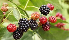 Bramen en frambozen snoeien: knip na de oogst alle stengels die vrucht droegen weg