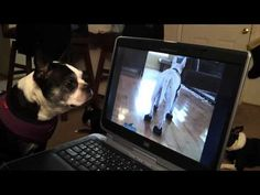 This dog loves to watch Youtube Videos. http://www.bterrier.com/boston-terrier-loves-to-watch-youtube-videos/    Like Boston Terrier Dogs on Facebook : http://www.facebook.com/bterrierdogs