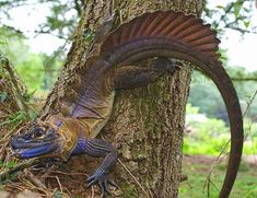 reptiles   Sailfin dragons are usually found basking in or near mountain streams.