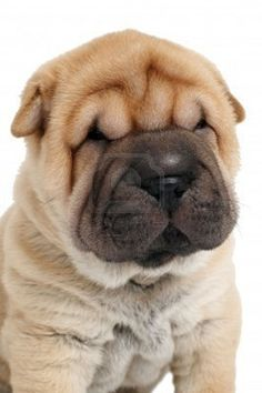 Sharpei, Indeed a Chinese dog. Shar Pei Puppies, Cute Puppies, Dogs And Puppies, Poodle Puppies, Spaniel Puppies, Pet Dogs, Dog Cat, Pets, Cachorros Shar Pei