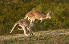 Kangaroo_Amiee-Stubbs